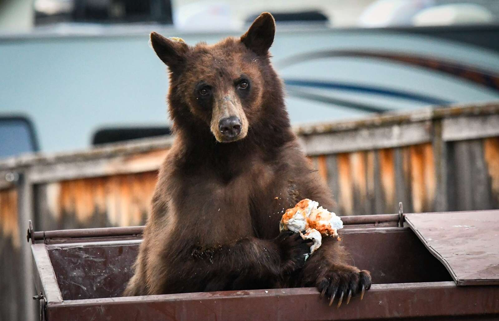 Trash in Glenwood Springs causing more bear conflicts than usual