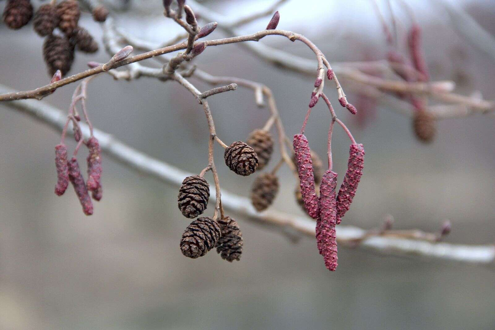 Curious Nature: Amazing alders are one of Eagle County's lesser-known trees