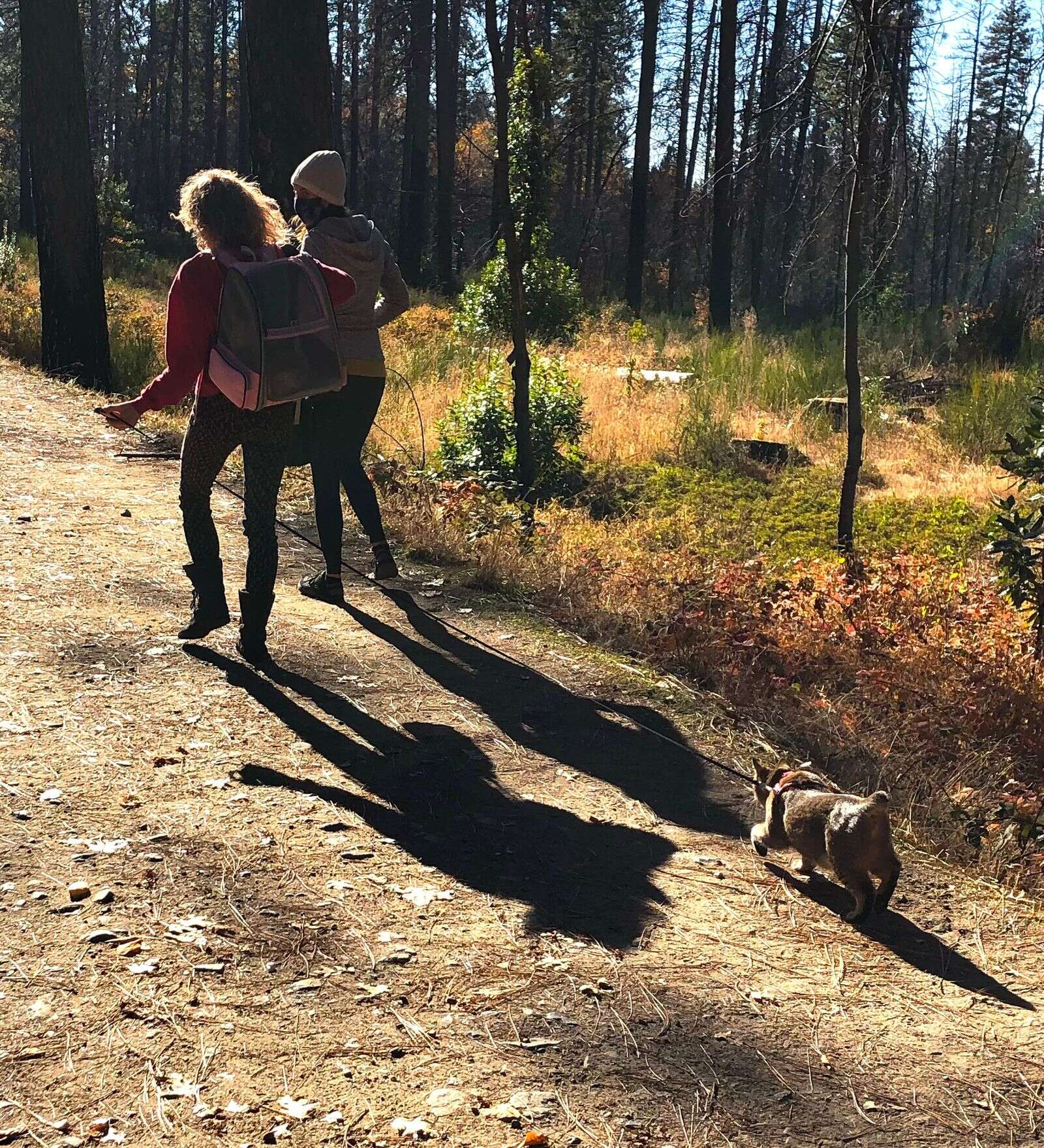 A Miniature Lynx Manx enjoying a walk at Empire Mine State Park. | Submitted by Diane Mercer