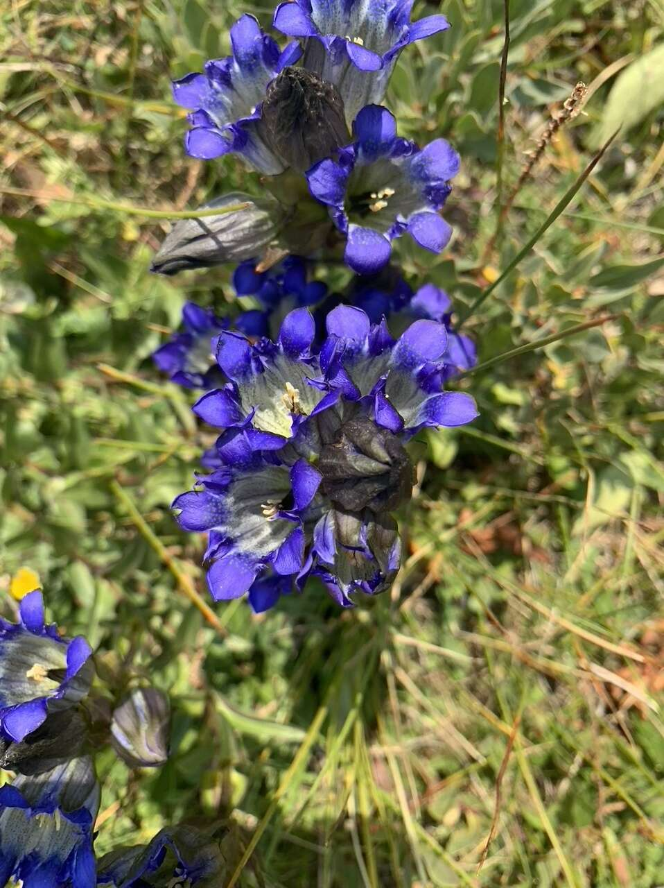 Pictured is a Bottle Gentian, one of the many gentian varieties found in Summit County.   Photo by Karn Stiegelmeier