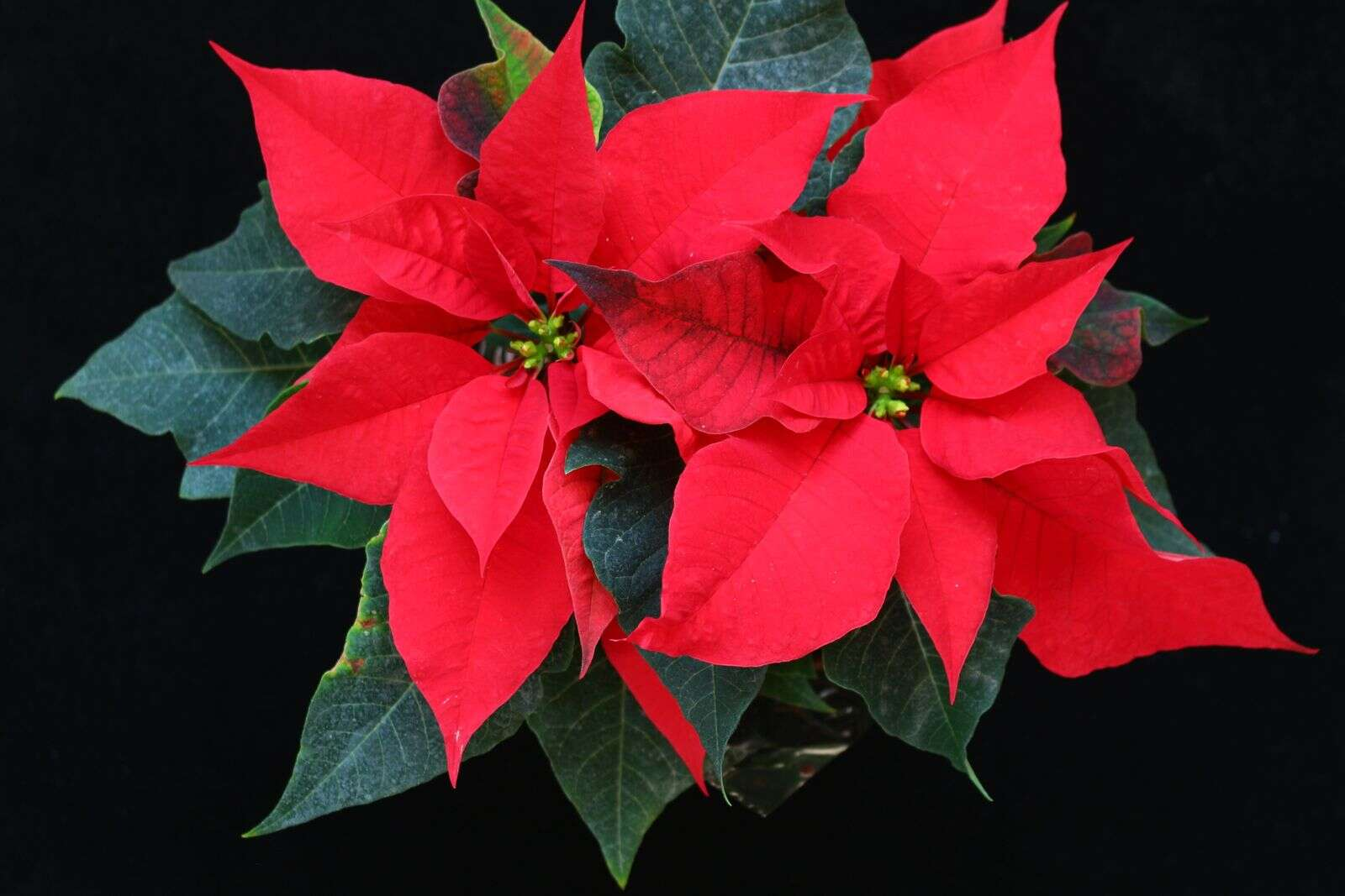 Christmas poinsettias. | Submitted by Ruth Hottel
