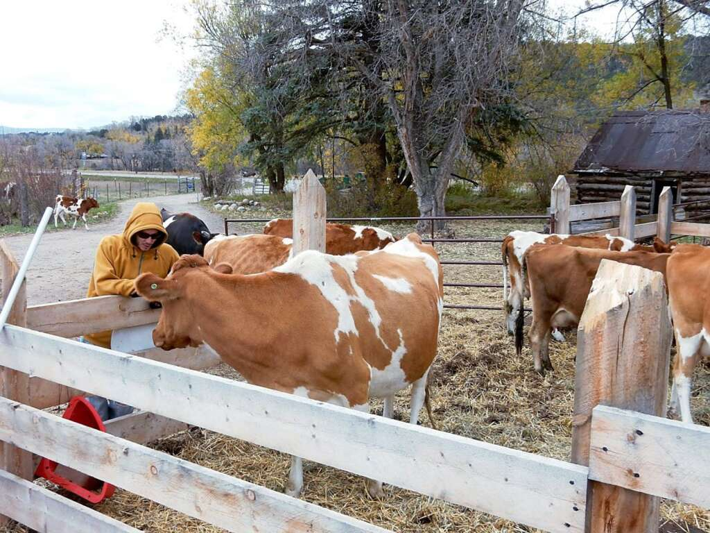 Cows at the Sustainable Settings milking facility. Aspen Times file
