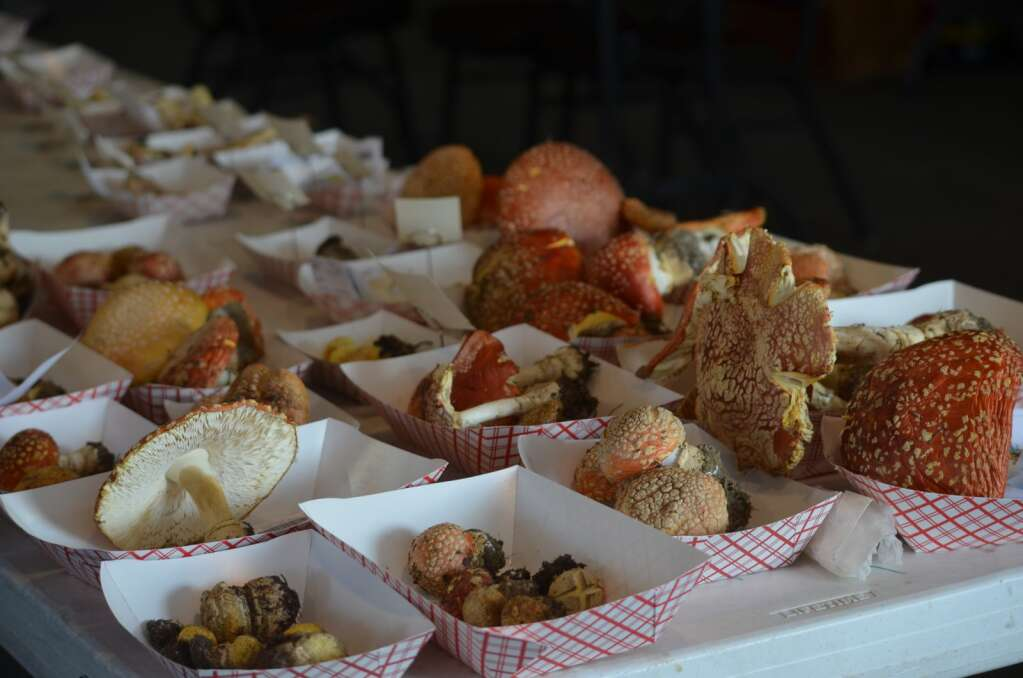 Dried amanita muscaria were one of the more frequently found mushrooms during weekend forays across Grand County hosted by the North American Mycological Association for its annual event. | McKenna Harford/mharford@skyhinews.com