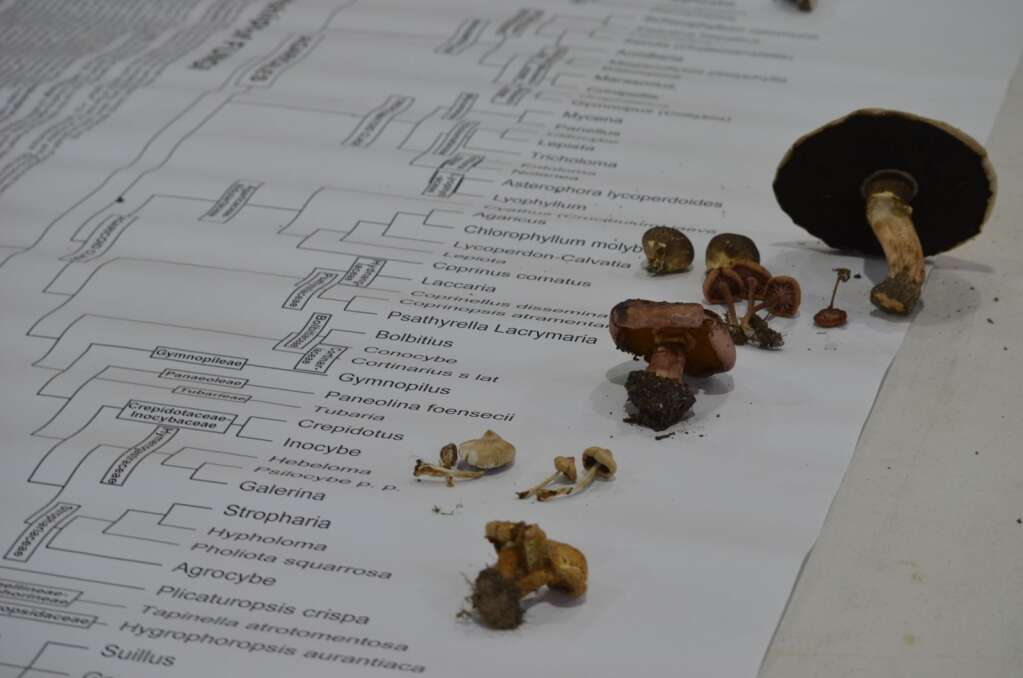 Identified mushroom and mold species were placed along a phylogenetic tree, which traces the evolution of fungi. | McKenna Harford/mharford@skyhinews.com