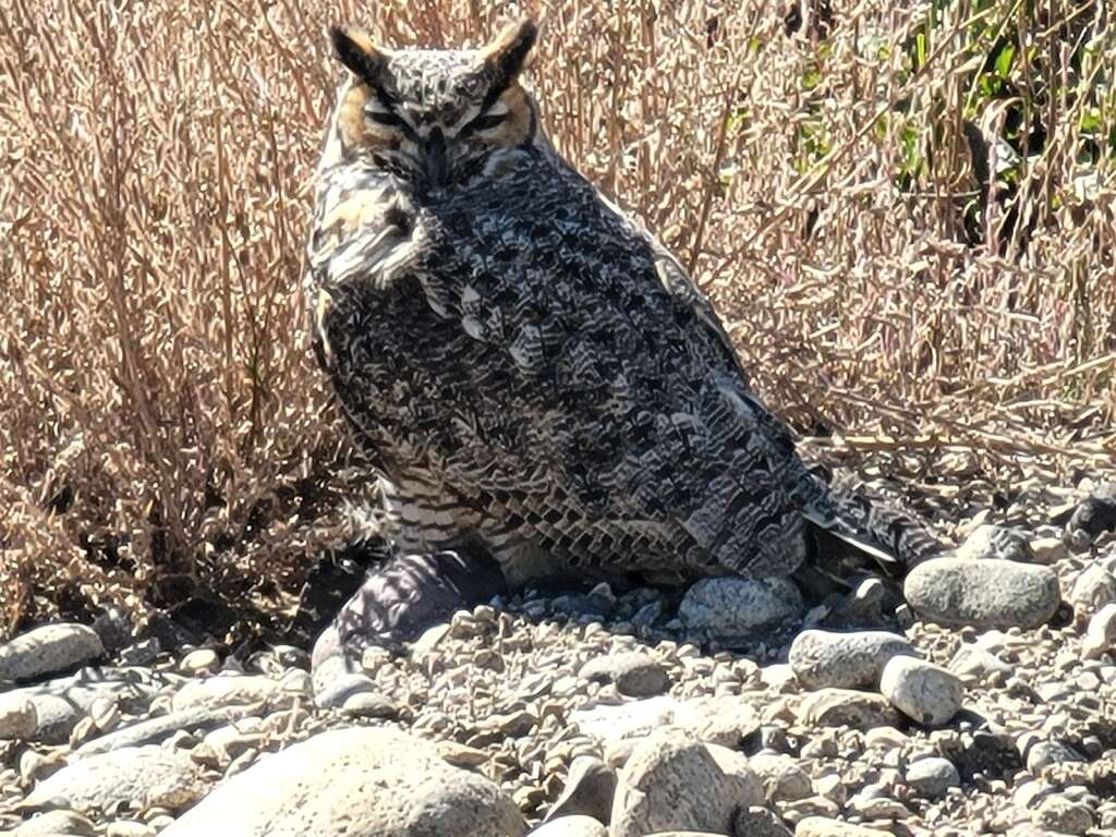 A great horned owl stunned itself and had to be rescued from Granby's dog park to avoid any conflict.   Granby Police Officer Jake Fisher  / Courtesy photo