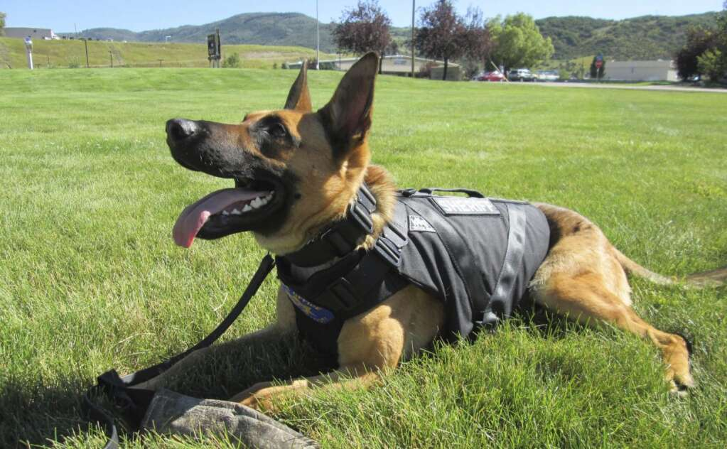 Boomer, a Belgian Malinois, was the first K-9 unit with the Routt County Sheriff's Office. Boomer died Jan. 3 at age 7. (File photo/Matt Stensland)
