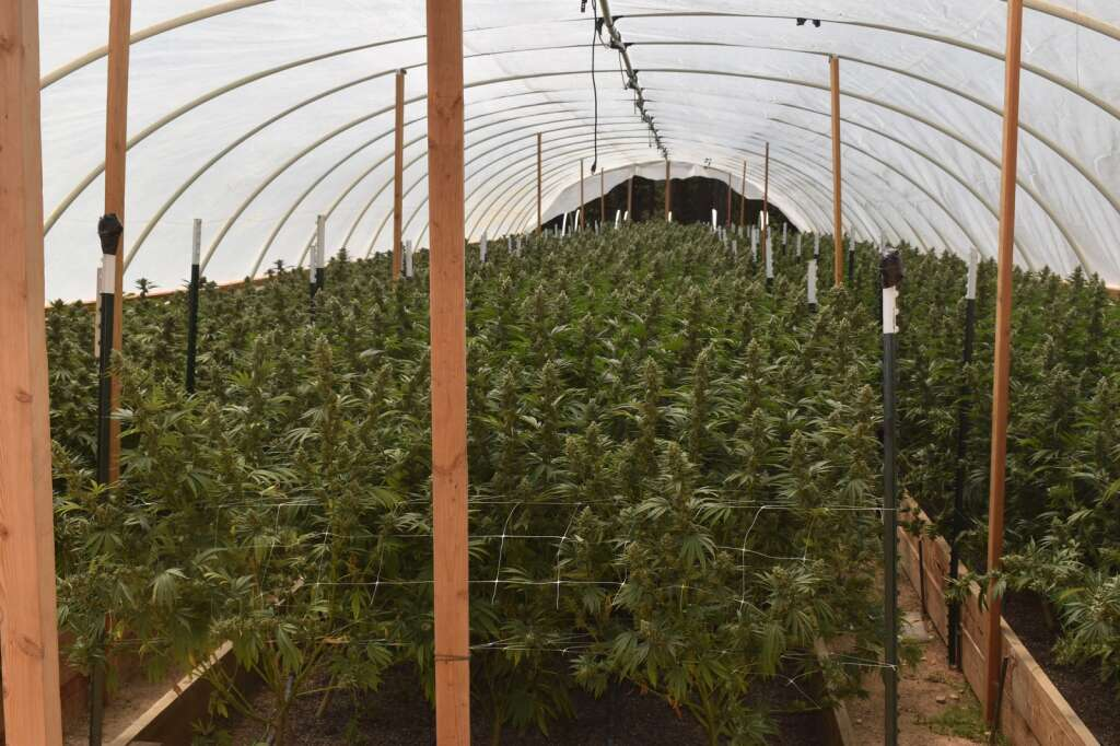 The Nevada County Sheriff's Office, along with other agencies, executed several marijuana search warrants on August 17, 2021. Many violations were noted during the search, according to a press release from the sheriff's office. | Courtesy of the Nevada County Sheriff's Office