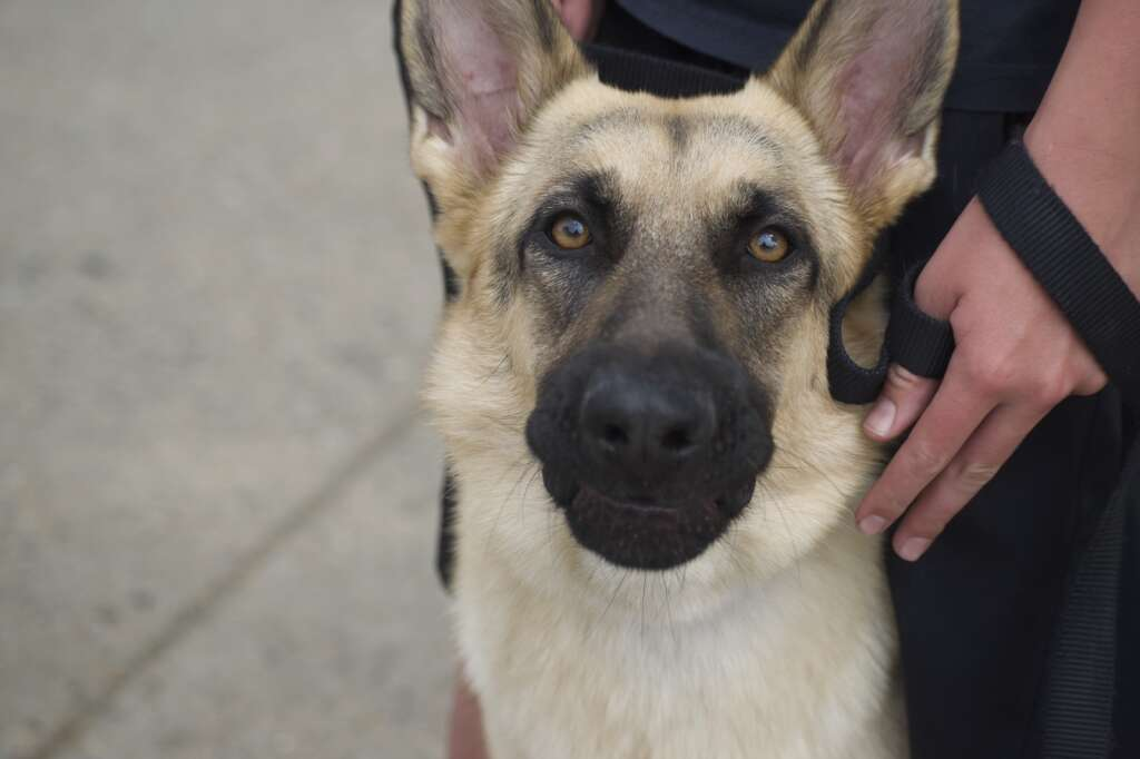 Justice the German Shepherd poses for a photo during Craig's Fourth of July parade, held July 5, 2021, marched down Victory Way Monday morning. | Cuyler Meade / Craig Press
