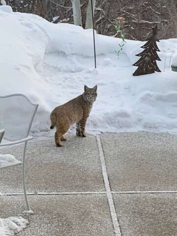Park City police informed of mountain lion sightings, bobcat also seen