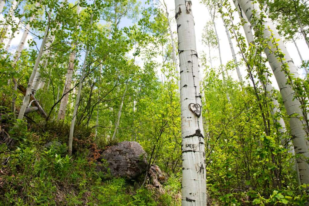 A carved heart heals on the trunk of an aspen tree on Independence Pass near Aspen on Thursday, June 3, 2021. (Kelsey Brunner/The Aspen Times)