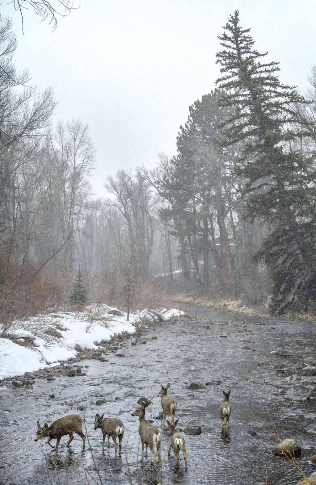Deer roam in the Roaring Fork River adjacent to the Rio Grande Trail adding to the attributes of utilizing Pitkin County Open Space and Trails. (Daniel Bayer/Aspen Journalism)