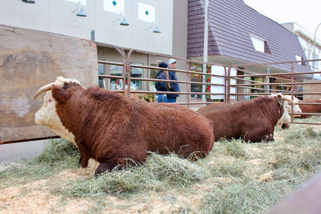 Sparks Hereford bring their horned Herefords to Miles City's Beef Breeders Show. Photo by Molly Jacobson