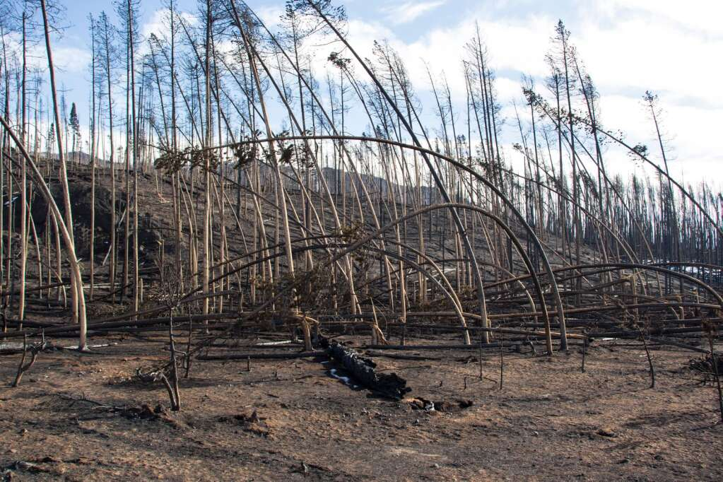 Lodgepole pine trees bent like spaghetti testify to the strong winds and heat of the East Troublesome fire as it swept thorough Rocky Mountain National Park near Grand Lake. Photo courtesy of National Park Service.