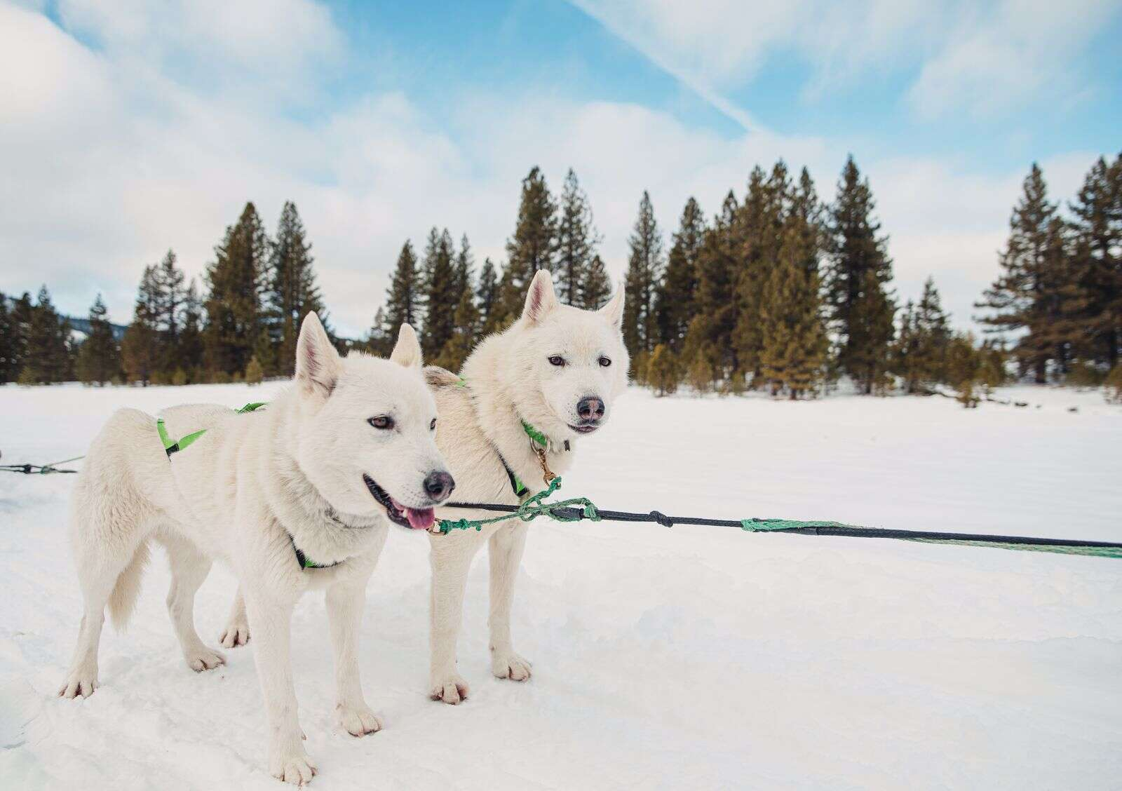 A team consists of a lead dog or dogs (there can be two lead dogs at a time) which are in front, team dogs in the middle and wheel dogs that are directly in front of the sled which help pull the sled out from and around corners or trees.