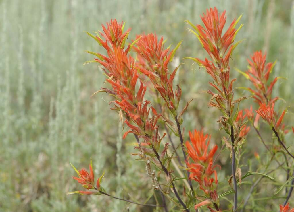 Midsummer wildflowers, like Indian paintbrush, are starting to showon Bluffs Loop on Emerald Mountain. (Photo by Shelby Reardon)