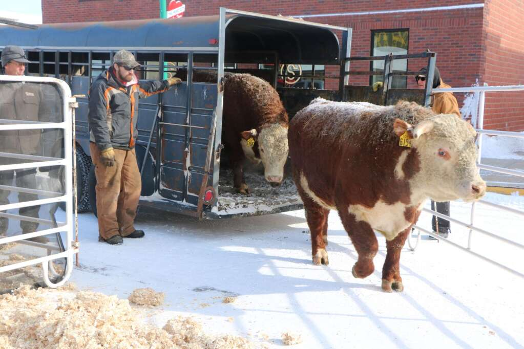 Producers unload bulls on a chilly Bull Bash day in 2018, Valentine, Nebraska. Photo by Linda Teahon