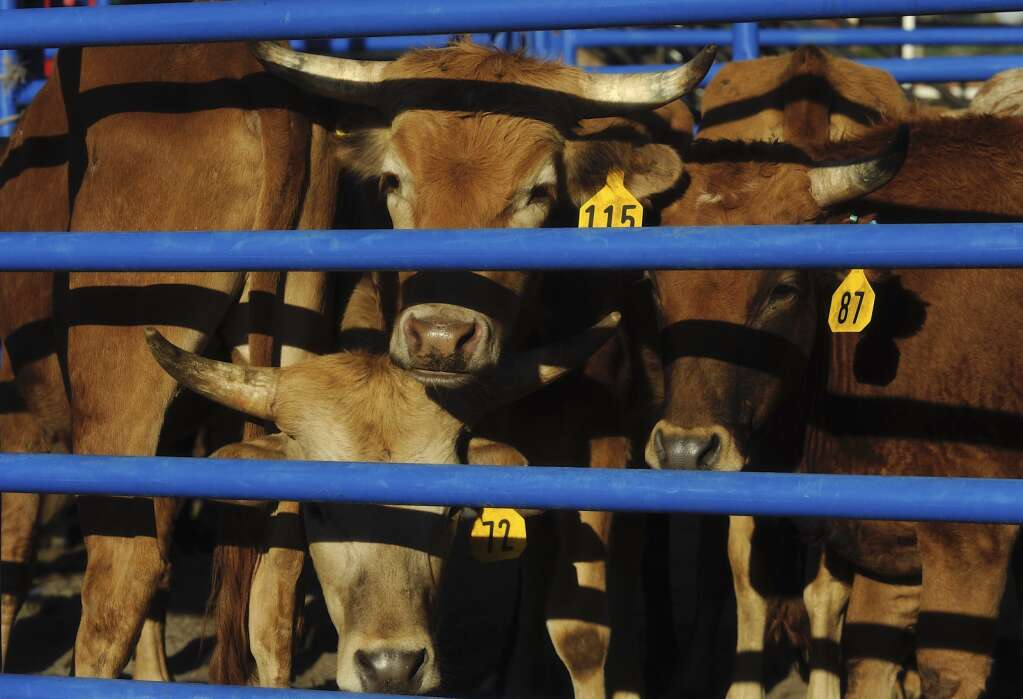 Steers are corraled together ahead of Friday night's Steamboat Springs Pro Rodeo series. (Photo by Shelby Reardon)