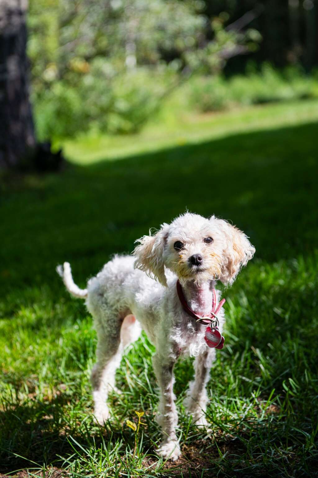 Bella stands in the yard at her home in Snowmass after a month of being lost in the Maroon Bells-Snowmass Wildernes Area on Friday, July 23.   Photo by Kelsey Brunner / The Aspen Times