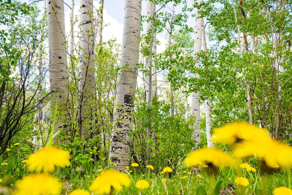 Dandelions dot the ground beneath a grove of aspen trees growing near the road on Independence Pass outside of Aspen on Thursday, June 3, 2021. (Kelsey Brunner/The Aspen Times)