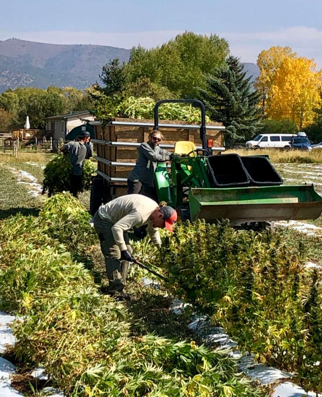 A crew harvest hemp last fall at a farm along Emma Road. Some neighbors objected to the smell of the plants. | Scott Condon/The Aspen Times