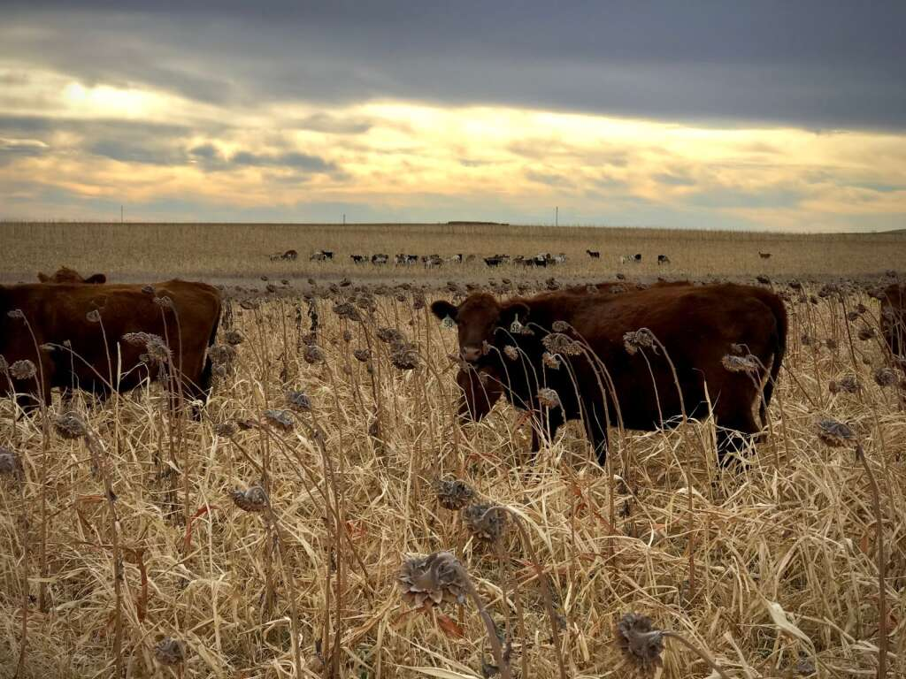 Neuharths graze both cattle and sheep, and utilize cover crops.