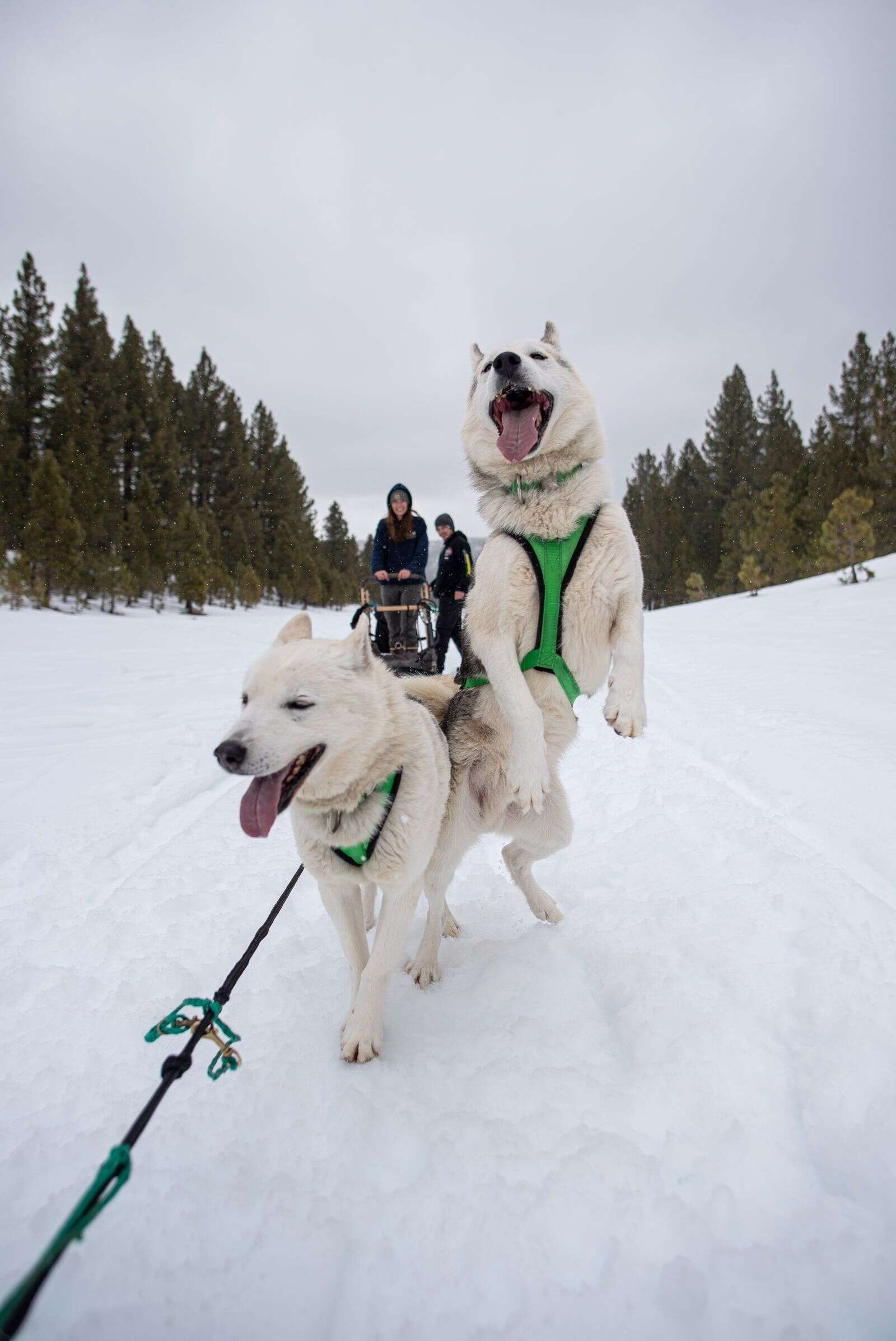 Martin's partner, Rohn Buser, grew up with sled dogs in Alaska. Now, they own 13 dogs and run the company Sierra Husky Tours.