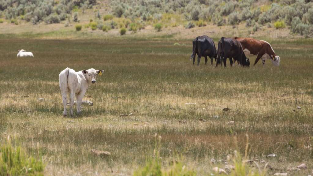 Cows graze freely on the Ensign Ranch, foraging for good grass and the occasional trough of water, Wednesday afternoon, July 7, 2021. (Tanzi Propst/Park Record)