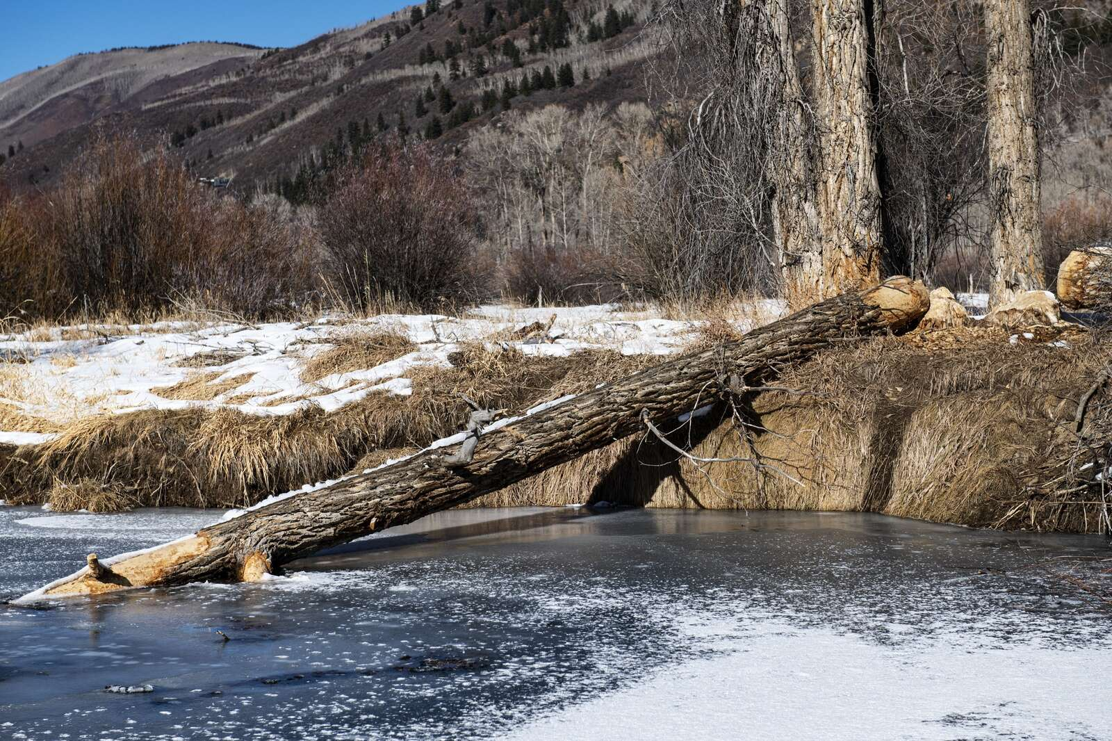 Evidence of beaver activity on Cottonwood Trees in Northstar Nature Preserve on Friday, Dec. 4, 2020. The branches under the water were stripped clean of bark, having been used as a food source for the beavers. (Kelsey Brunner/The Aspen Times)