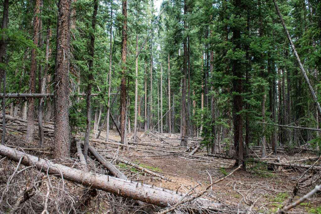 30% of debris and trees would be removed if the Pandora expansion is passed on Aspen Mountain on Thursday, August 12, 2021. (Kelsey Brunner/The Aspen Times)