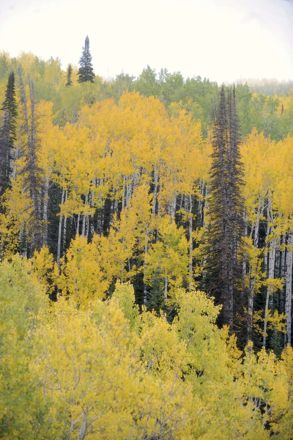 Flash of Gold on Buffalo Pass in late September. | Shelby Reardon/Steamboat Pilot & Today