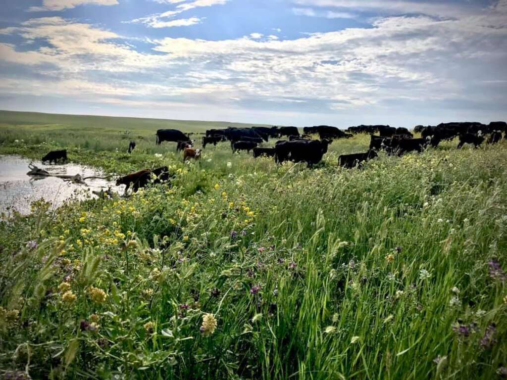 At Prairie Paradise Farms near Hayes, South Dakota, rotating both cattle and crops is a big part of the operation. Photos courtesy Neuharth family