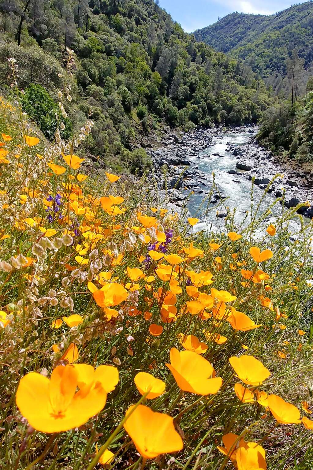 Wildflowers in full display along the Buttermilk Bend Trail the South Yuba River State Park. Though parking lots at most river access points were closed in April, the parks and trails remained open, though proper social distancing and the wearing of masks on single track trails is encouraged. | Photo: Elias Funez
