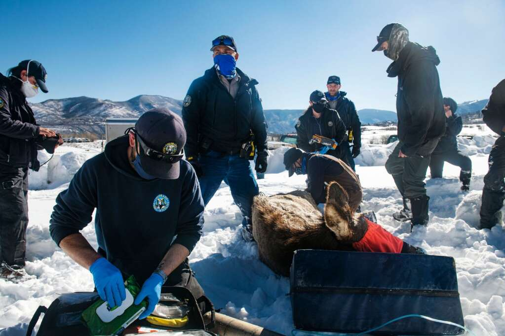 Colorado Park and Wildlife officials perform ultrasounds, draw blood and check vitals on a pregnant elk on Owl Creek Ranch in Snowmass on Friday, March 5, 2021. The crew consisted of wildlife technicians, officers and veterinarians. (Kelsey Brunner/The Aspen Times)