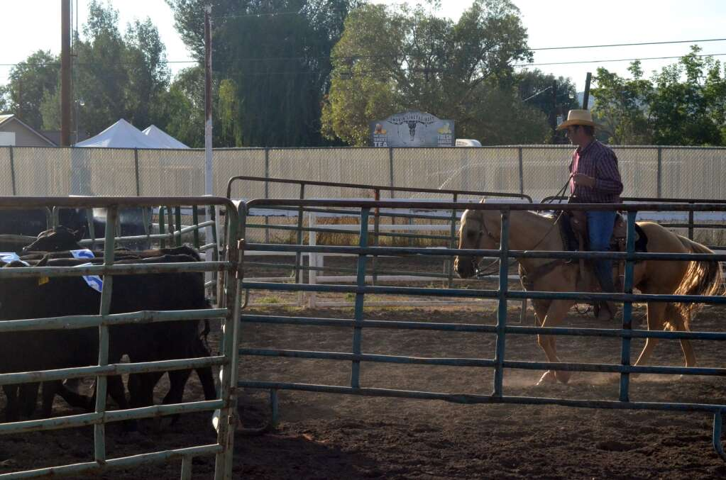 While the kids sorted ducks Saturday at the Routt County Fair in Hayden, the adults used real horses to gather numbered cows. (Photo by Bryce Martin)
