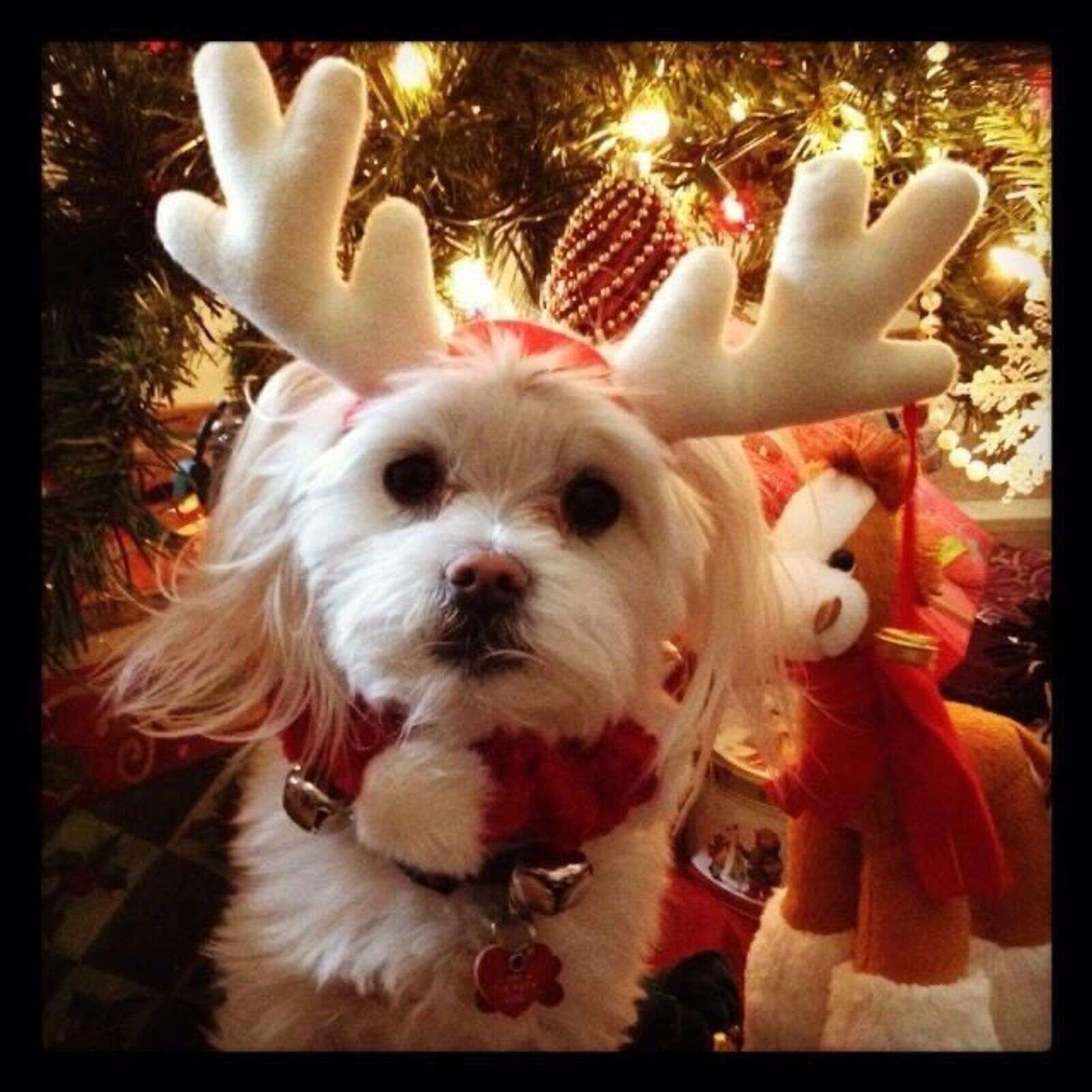 Bernie is ready for Christmas! | Submitted by Helen Boss