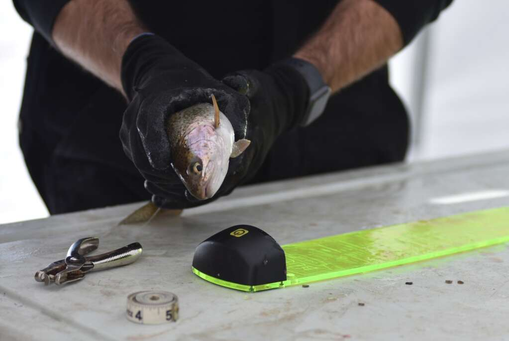 Fish are measured throughout the day Saturday for the Wolford Ice Fishing Tournament. | Amy Golden / agolden@skyhinews.com