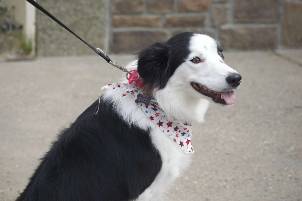 Kita the dog sits for a photo as Craig's Fourth of July parade, held July 5, 2021, marched down Victory Way Monday morning. | Cuyler Meade / Craig Press