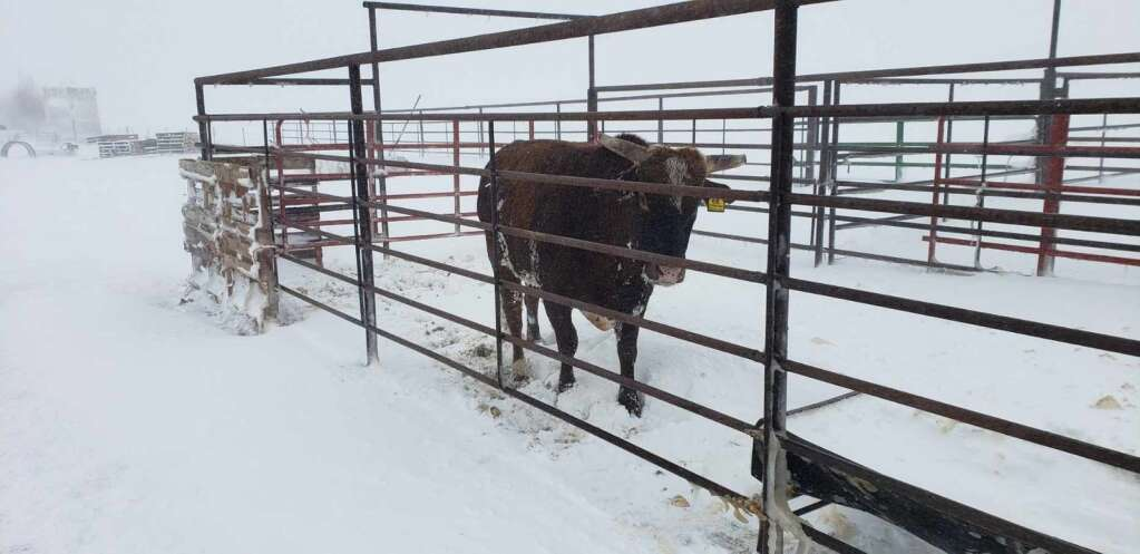 | Troy and Theresa Taylor; Triple T Livestock; Carr; Colorado.