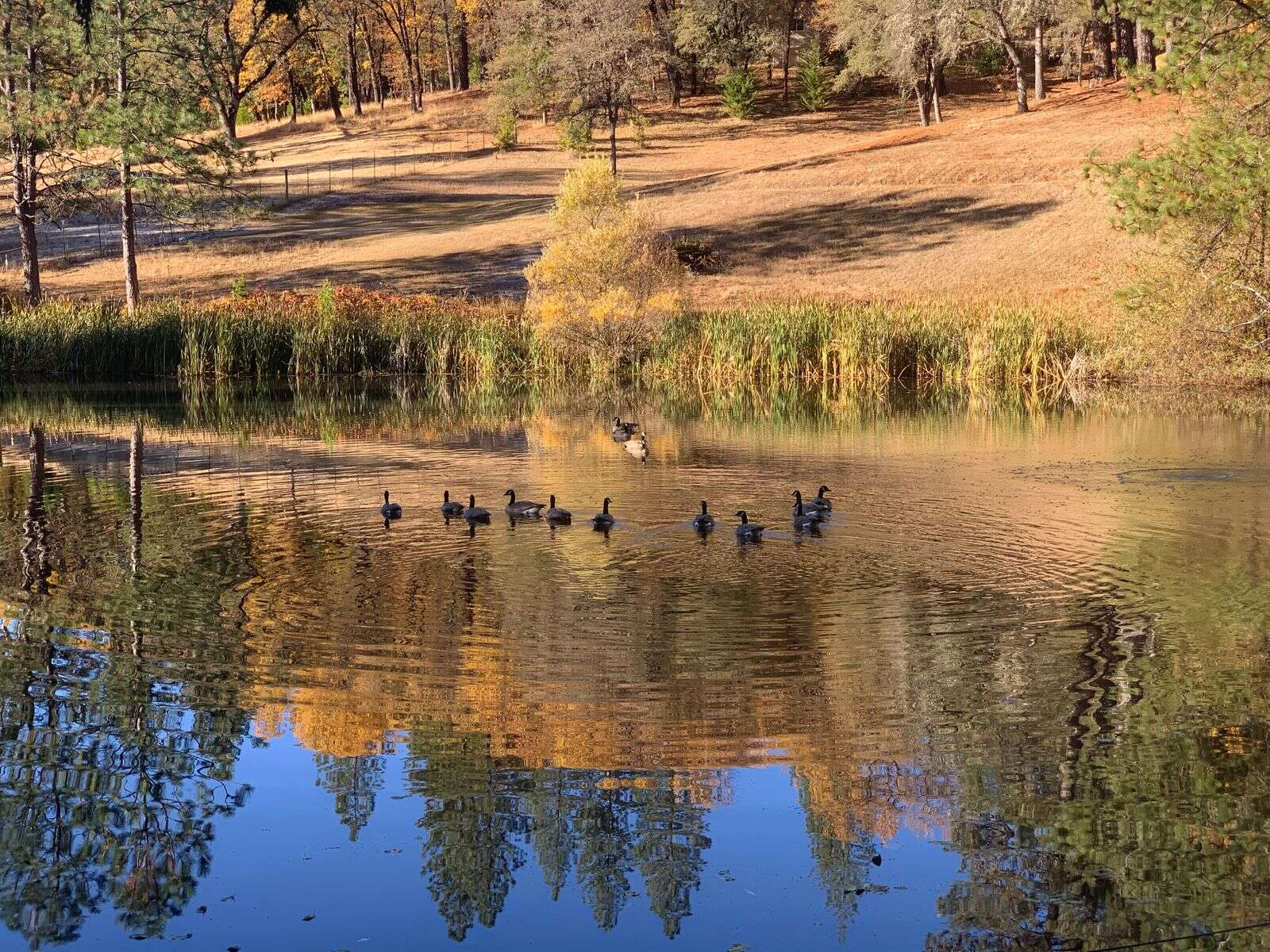 Canadian Geese taking a migration break. | Submitted by Marci Ficarra