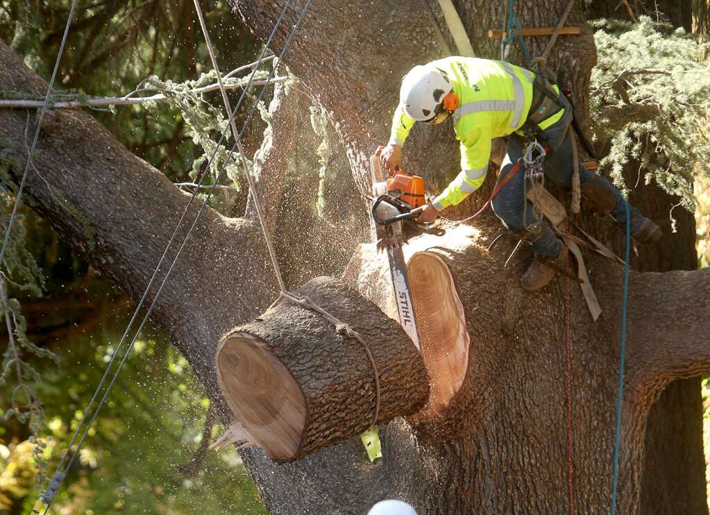 """A Mountain F. Enterprises tree climber uses a chainsaw to cut a portion of a limb from """"Bella"""" the blue Atlas cedar that was cut down at the request of PG&E Thursday Oct. 22 at Broad and Bennett Streets in Nevada City. 