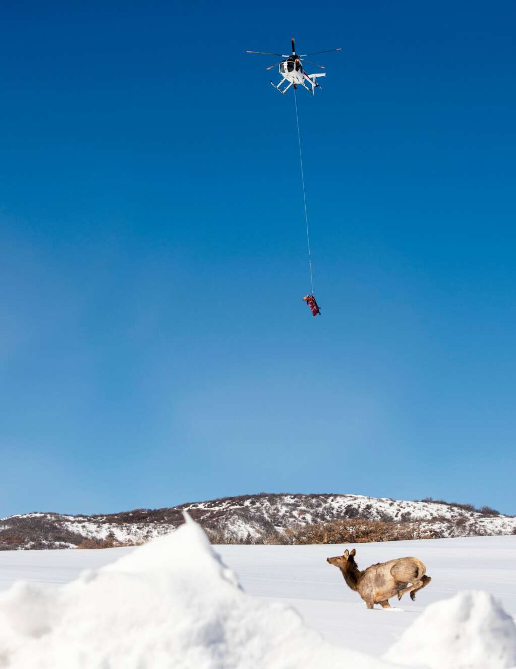 A female elk is released without a collar after finding that she was not pregnant as another cow is brought in by helicopter for testing on Friday, March 5, 2021. Of the first four cows that were captured, tested and released, three of them were found to be pregnant and then collared and implanted. (Kelsey Brunner/The Aspen Times)