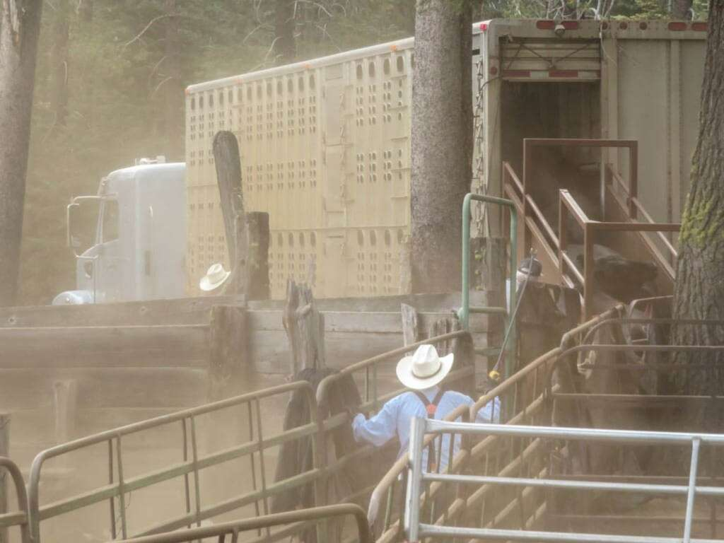 Post fire roundup, (Dixie Fire, California) separating cows and calves to send to the sale barn. Photo by Richard Ross