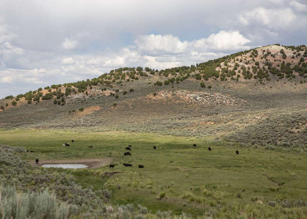 Cows graze freely on the Ensign Ranch, foraging for good grass and the occasional trough of water, Wednesday afternoon, July 7, 2021. A naturally occurring pond shrinks in the valley, decreasing the amount of water available to the herd. (Tanzi Propst/Park Record)