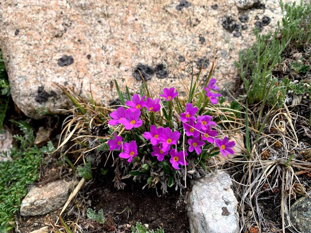 Alpine primrose is pictured June 18 near Straight Creek above the Eisenhower-Johnson Memorial Tunnels. | Photo by Emily Griffoul