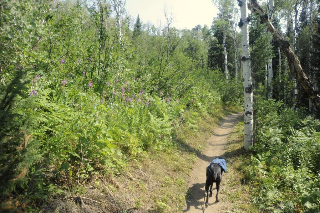 Dallas walks by a patch of firewwed on the Creekside trail at Steamboat Resort. (Photo by Shelby Reardon)