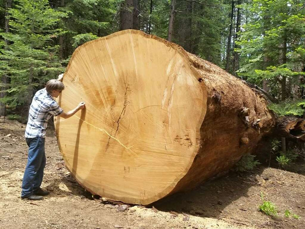 Taylor measuring the rings on the Whelan tree after being cut down in 2014.