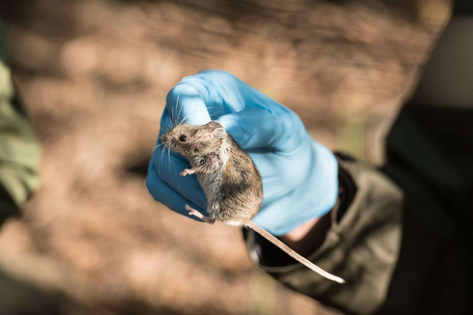 Colorado State University Fish, Wildlife and Conservation Biology student Max Warnock inspect a deer mouse captured during a BioBlitz led by Colorado State University at the Aspen Center for Environmental Studies Hallam Lake Preserve, June 27, 2019, a 25-acre site nestled in downtown Aspen. | William A. Cotton/CSU Photography