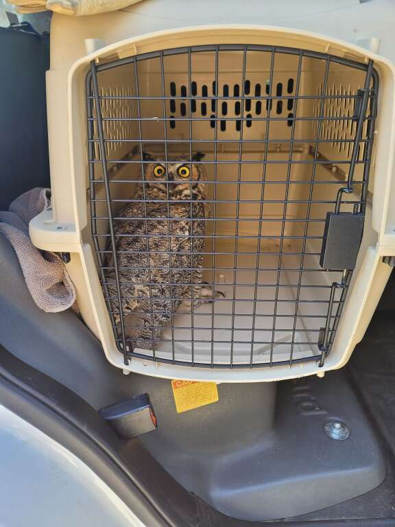 The rescued great horned owl was taken to the Arapaho National Wildlife Refuge in Walden to be released after he was examined for injuries.   Granby Police Officer Jake Fisher  / Courtesy photo