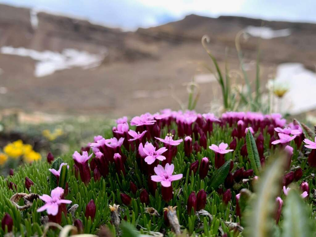 Moss campion is pictured June 23 between Fourmile Creek and Horseshoe Mountain in Park County. | Photo by Emily Griffoul