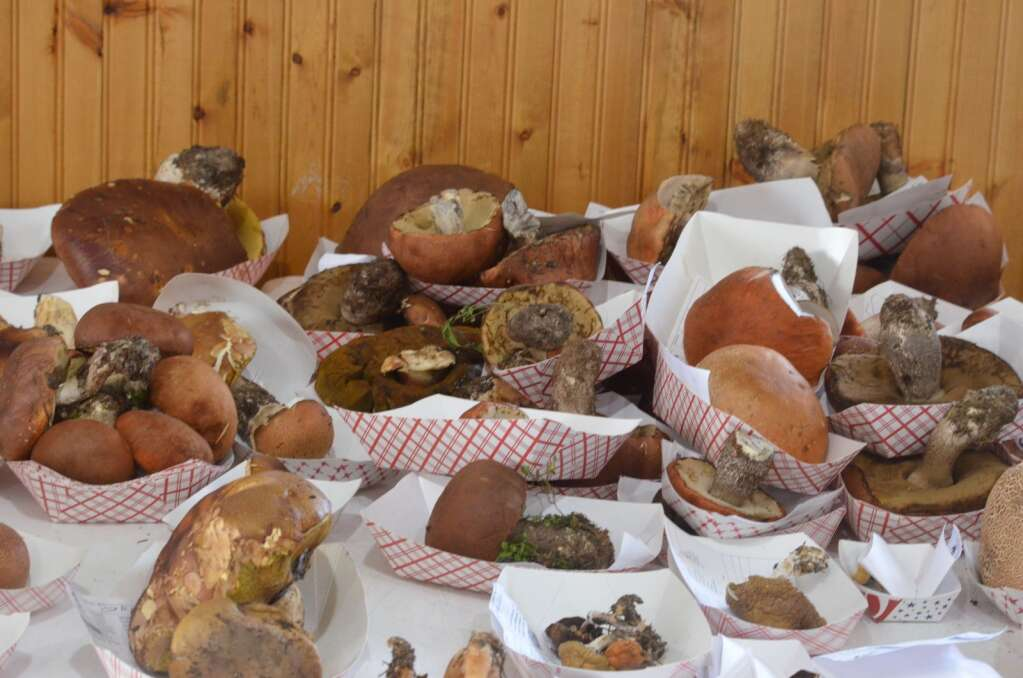 Hundreds of mushrooms, lichen and mold were displayed at Snow Mountain Ranch on Sunday, reflecting the bounty of fungi in Colorado this year. | McKenna Harford/mharford@skyhinews.com